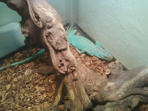Blue Iguana For Sale : Iguana for sale for sale in quezon city national capital region