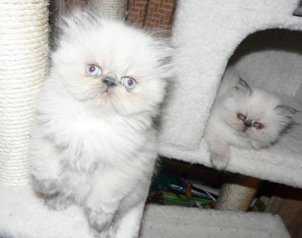Persian kittens for sale san diego