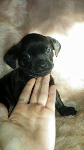 """Beautiful """"Bo-dach"""" Boston Terrier - Dachshund mix puppies for sale in ..."""