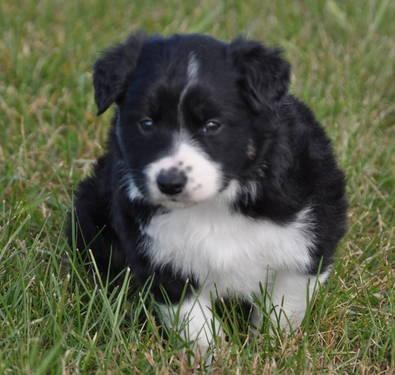 Beautiful Borgi Puppies! (Corgi and Border Collie