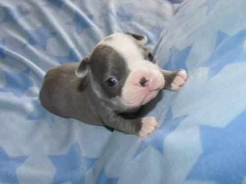 Beautiful Boston Terrier puppies for Sale in Albia, Iowa