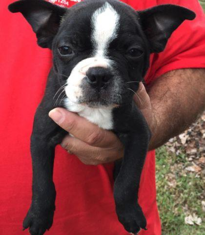 boston terrier puppies virginia beautiful boston terrier puppies for sale in 1425
