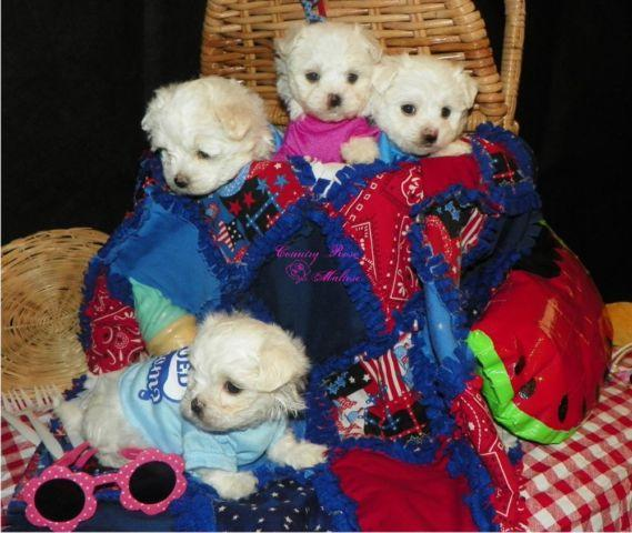 Beautiful Bouncing Akc Maltese Pups