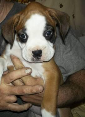 boxers puppies for sale in oklahoma beautiful boxer puppies for sale in tulsa oklahoma 4633