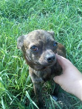brindle chihuahua for sale beautiful brindle chihuahua green eyes for sale in 7459
