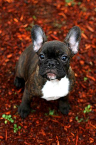 french bulldog rescue seattle beautiful brindle french bulldog puppies for sale in 6077