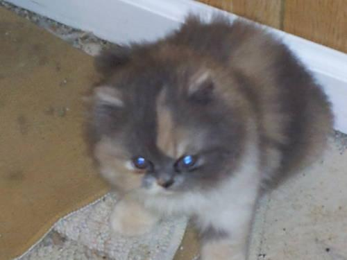 Beautiful CFA Persian Kittens For Sale
