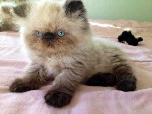 Beautiful CFA Registered Persian Himalayan Kittens - Available Now for ...