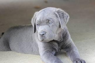 Beautiful Charcoal Silver Lab Puppies
