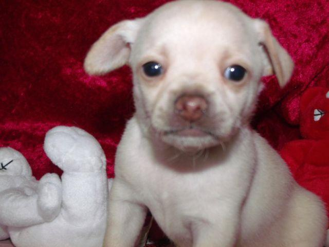 Beautiful Chihuahua Puppies for adoption- 8 weeks