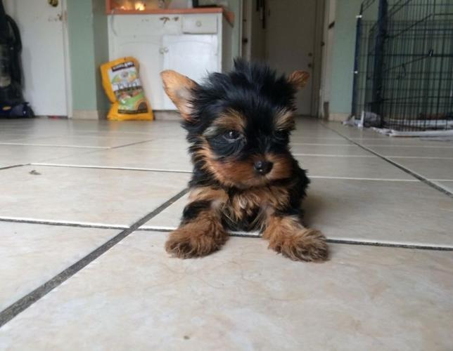 Beautiful chocolate Teacup Yorkies Puppies for sale