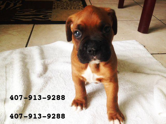 Beautiful Ckc Boxer Puppies For Adoption For Sale In Orlando Florida Classified Americanlisted Com