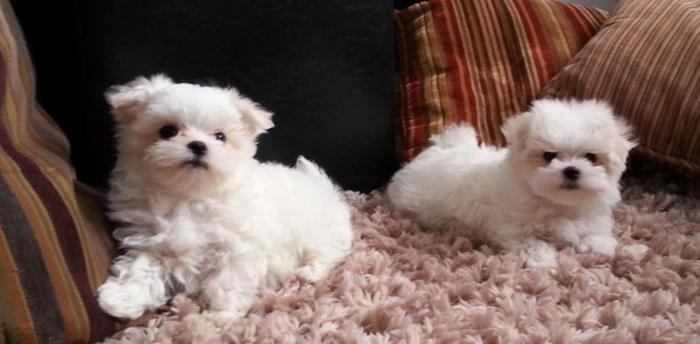 maltese puppy for sale in tn beautiful ckc maltese puppies for sale in denver 2503