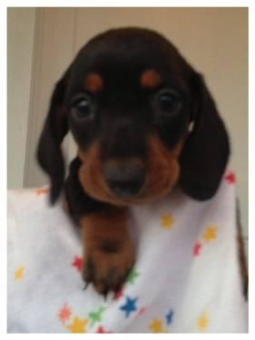 Beautiful Ckc Miniature Dachshund Puppies For Holidays Several