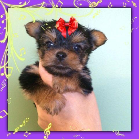 Beautiful Ckc Yorkie Puppies For Sale In Carlisle South Carolina