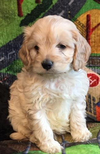 Beautiful Cockapoo Puppies For Sale In West Palm Beach Florida