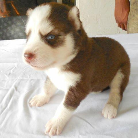 Beautiful Copper (Dark Red) Husky Puppy with Blue Eyes for ...