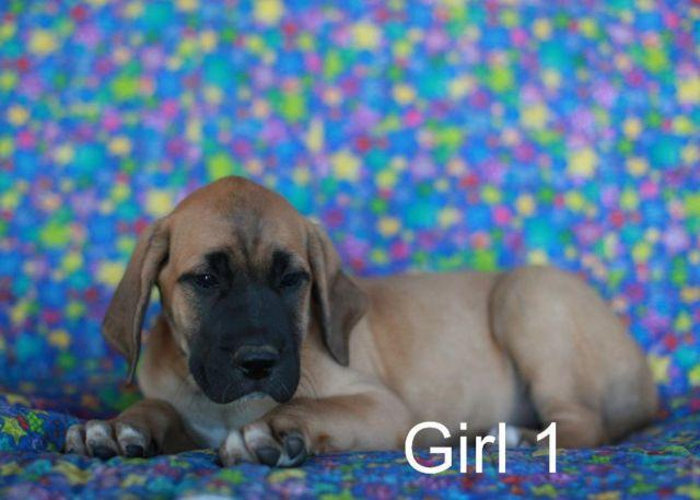 Mastiff Pets And Animals For Sale In Evart Michigan Puppy And