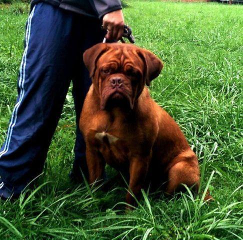 Kiwi The Dogue De Bordeaux At Nags Head Nc Mastiff Puppies Bordeaux Dog British Mastiff