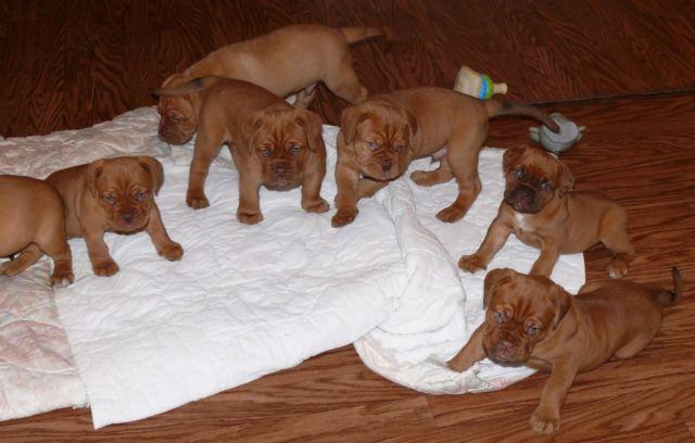 Beautiful Dogue De Bordeaux French Mastiff Puppies For Sale In Pittsboro North Carolina Classified Americanlisted Com