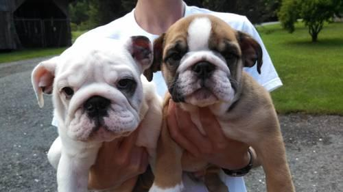 Beautiful English Bulldog Puppies For Sale In Asheboro North