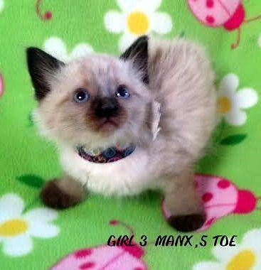 Polydactyl Manx Cats For Sale