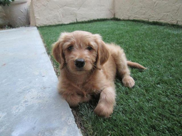 Beautiful F1 Goldendoodle Puppy Female 8 Weeks Old For