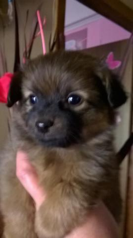 Beautiful Female Pomeranianyorkshire Terrier Mixed For Sale In