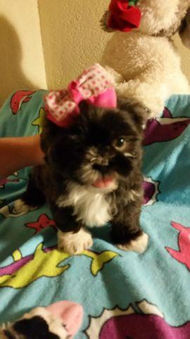 Beautiful Female Shih Tzu