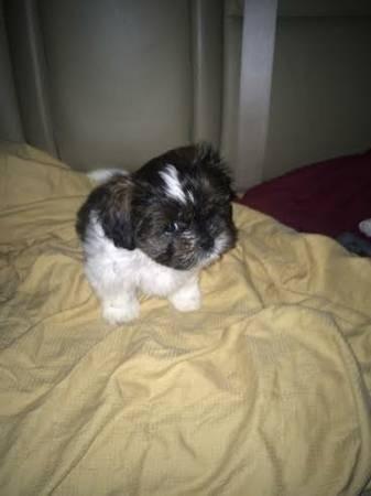 Beautiful Female Shih Tzu Puppies For Sale In Orlando Florida