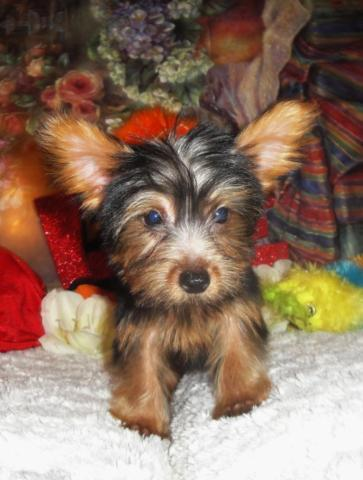 Beautiful female tiny toy Morkie puppy