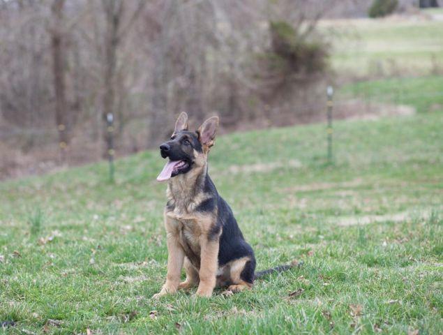 Beautiful German Shepherd Puppies For Sale In Barrier Kentucky