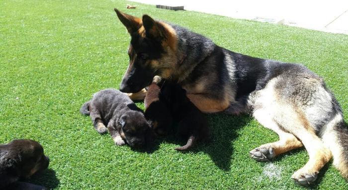 Beautiful German Shepherd Puppies For Sale In Santa Maria