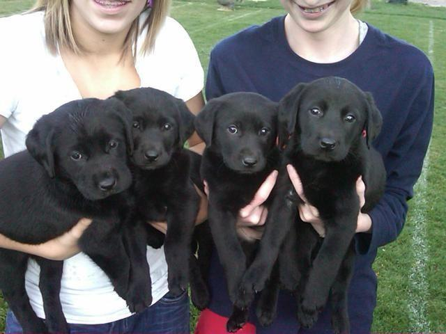 Beautiful Golden Retriever Lab Mix Puppies For Sale In Boring