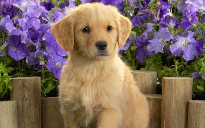 Golden retriever pups ohio
