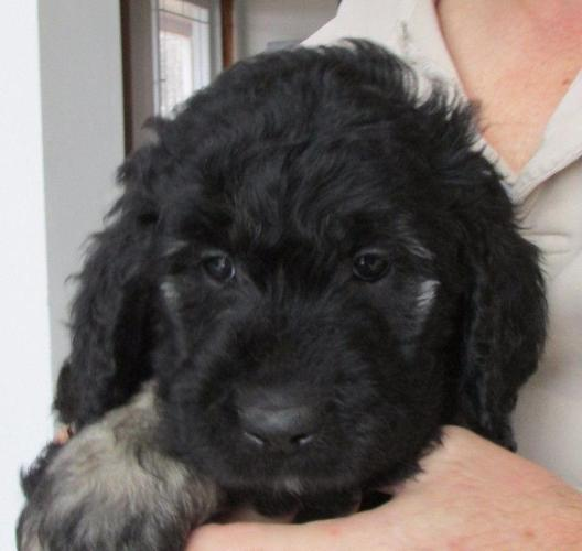 Beautiful goldendoodles F1 rare color phantom