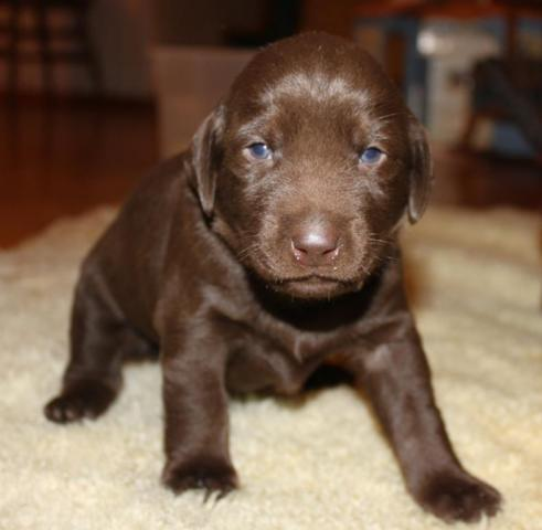 Beautiful Healthy Akc Chocolate Labrador Puppies For Sale In