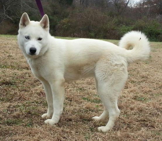 Beautiful Huskita Husky Akita Mix Female For Sale For Sale In Boskydell Illinois Classified
