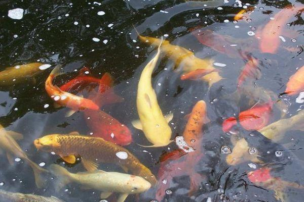 Beautiful koi fish for sale bainbridge n y for sale in for Giant koi for sale