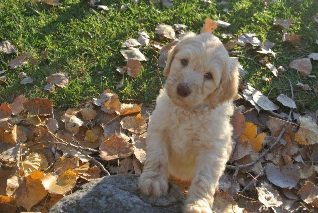 Beautiful Labradoodles farm and kid raised low shedding