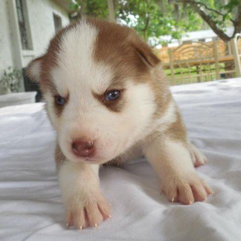Beautiful Light Red Husky Puppy with Blue Eyes for Sale in ...