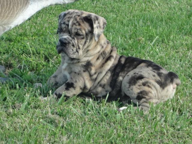 Beautiful Litter Of Chocolate Merle Olde English Bulldogs For Sale
