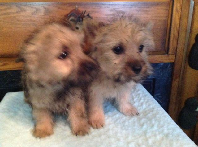 Beautiful little carin terrier puppys