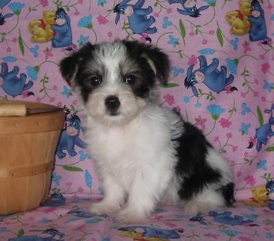 yorkie mixed puppies for sale mn beautiful little party color morkie puppies yorkie 9567