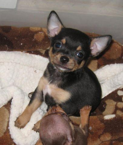 Black Chihuahua Pets And Animals For Sale In Virginia Puppy And