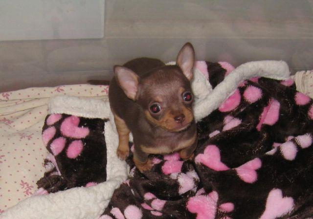 chocolate chihuahua puppy beautiful lively tiny chocolate teacup female chihuahua 1698