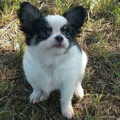 Beautiful Long Hair Chihuahua For Sale In Cleburne
