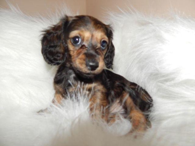 BEAUTIFUL Long-hair MINI-DOXIE, LOTION/TINTED LOTION,