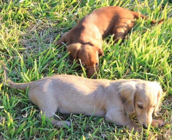 Long haired miniature dachshund for sale in texas
