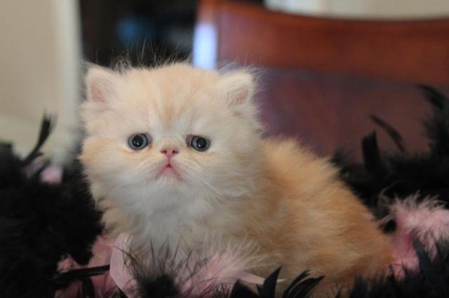 Long Haired Kittens Classifieds Buy Sell Long Haired Kittens